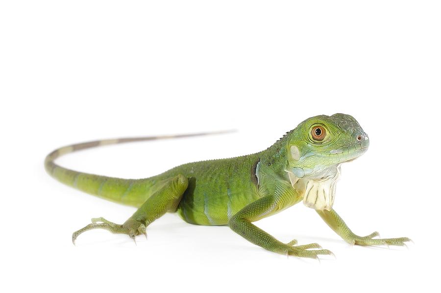 bigstock-Baby-Iguana-38438962